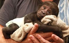 Baby Gorilla Born In Wuppertal Zoo (Germany)