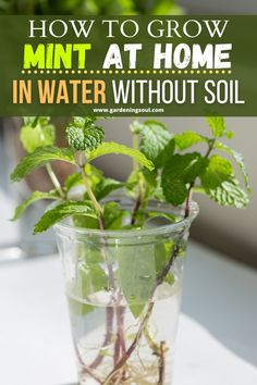 How To Grow Mint At Home In Water Without Soil