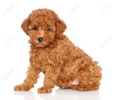 Red Toy Poodle Puppy Sits On A White Background Stock Photo ...