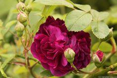 'Centifolia à Fleurs Doubles Violettes'