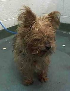 MISSING --- JABO (A1691298) I am a neutered male black and brown Yorkshire Terrier. The shelter staff think I am about 10 years old and I weigh 12 pounds. I was found as a stray and I may be available for adoption on 04/16/2015 Miami Dade https://www.facebook.com/urgentdogsofmiami/photos/pb.191859757515102.-2207520000.1428712650./960597403974663/?type=3&theater