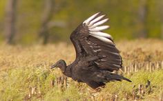 photo by Henry McLin: Black Vulture