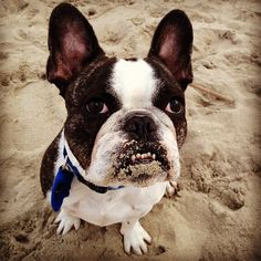 10. Tank   Community Post: 12 French Bulldogs You Need To Be Following On Instagram
