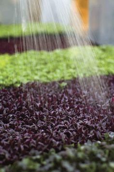 How to grow micro greens Fruit Garden, Edible Garden, Vegetable Garden, Growing Sprouts, Growing Microgreens, Farm Gardens, Outdoor Gardens, Garden Tips, Garden Ideas
