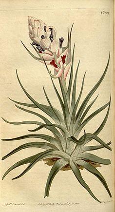 Tillandsia stricta - Curtis vol. 38 (1813) pl. 1529.jpg
