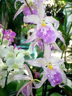 These orchids are breath-taking!