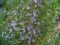 The rosemary nectar is unaffected by weather and rain, while being extremely resistant to drought and water scarcity. Honey of rosemary has a wonderful aroma, golden color and crystallizes very quickly.