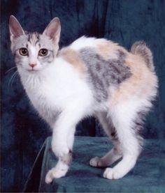 like my Minnie. Cool Cats, I Love Cats, Crazy Cats, Fluffy Kittens, Cats And Kittens, Bobtail Japonais, Japanese Bobtail, Bobtail Cat, Funny Cat Photos