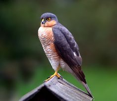 #sparrowhawk #raptorbirds #stonefever #cree #firstpeople photo: Just Click's With A Camera