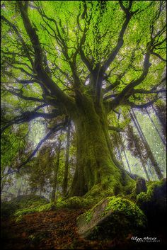 ~~beech Ponthus is one of the oldest and of the most magnificent trees of Broceliande by philippe MANGUIN photographies~~