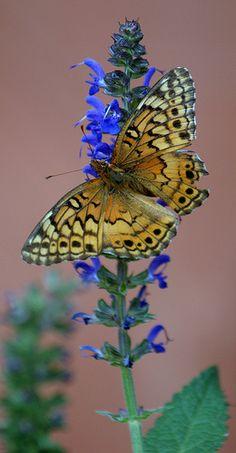 Nestled in beauty!                 Variegated Fritillary (Euptoieta claudia)