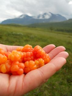 Cloudberries, Padjelanta----> Okay when I get to Scandinavia I am totally picking these. B-)