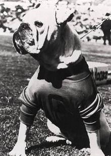 Uga I.  The original Uga.  Doesn't look anything like a modern English Bulldog!  Looks like an Olde English Bulldog..,.longer legged and athletic.