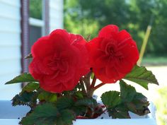 How to Grow Begonias in 10 Steps