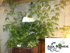 Lima bean plant. In home Aquaponics by Aqua Botanical, aquabotanical.org