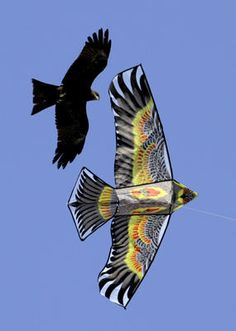 A bird looks at a bird-shaped kite before attacking it during the International Kite Festival in Ahmadabad, India. More than a hundred Indian and foreign kite flyers participated in the five day long International kite festival that began Tuesday.