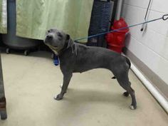 07/03/15-HOUSTON-RESCUE ONLY - SUPER URGENT - MIRACLE NEEDED - This DOG - ID#A436848  I am a female, gray and white Pit Bull Terrier mix.  My age is unknown.  I have been at the shelter since Jun 29, 2015.  This information was refreshed 48 minutes ago and may not represent all of the animals at the Harris County Public Health and Environmental Services.