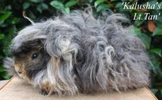 Meet the Lunkarya Boars - Kalusha's Cavies