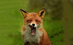 Yawning fox Wallpaper
