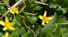 ficaire fausse-renoncule (Ranunculus ficaria) ou ficaire. Espèce très commune, on la rencontre dans les prairies, les forêts, talus et lisières.