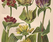 Vintage Botanical Print, Antique Flower Chart, Nature Illustration, Alpine Plants, 75 to 100 Years, Floral Series 2, Plate 23