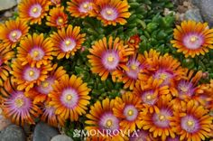 Fire Spinner® Ice Plant - Stunning tri-colored flowers cover a tight, fast spreading mat of succulent evergreen foliage. The flowers are most prolific in spring, reappearing throughout the summer. Green-apple foliage keeps its shiny presence through winter. Non-invasive. A Plant Select® winner, this hardy and heat-loving ground cover is perfect for use in waterwise landscapes.