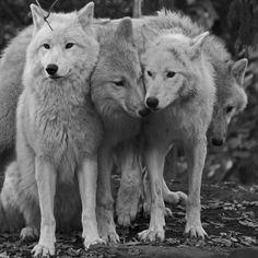 pack o' wolves