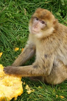 On Halloween, we gave the Barbary Macaques at Stichting AAP some pumpkins. For them, it's not something scary, but a tasty treat!  Photo: Marianne Worst