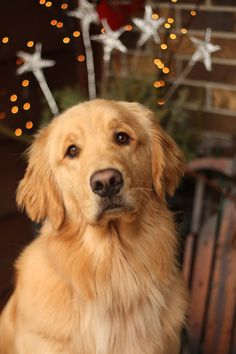 Goldens Sparkle