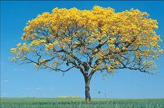 Terapia Floral:::Jaqueline Matos: A força e a potência do Ipê Amarelo