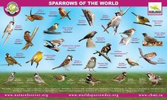 Sparrows of the World!!