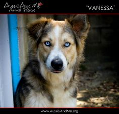Vanessa is an adoptable Border Collie Dog in Tampa, FL. More information coming soon.... If you are interested in adopting an amimal for Aussie And Me, the first step is to go to www.AussieAndMe.org a...