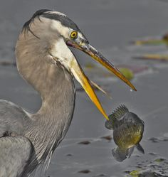 Blue Heron with Catch of the Day by Duke Coonrad on 500px