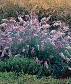 ruby grass - clumping, blue-green foliaged grass has amethyst-pink flowers that create fluffy, 8- to 12-inch-long plumes throughout the summer.