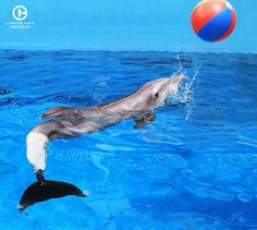 We love Winter! Go see Winter in Tampa, it is awesome! Freshwater Aquarium, Aquarium Fish, Dolphin Tale 2, Clearwater Marine Aquarium, Dolphin Photos, Dolphin Family, Bottlenose Dolphin, Animals Of The World, Marine Life