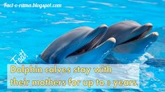 Dolphin Facts - Amazing facts about dolpins you never knew - Did you know that dolphin calves can stay with their mothers for up to 8 years. Fact-o-Rama You Never Know, Did You Know, Dolphin Facts, Dolphin Family, Anything Is Possible, How To Stay Awake, Killer Whales, Amazing Facts, Dolphins