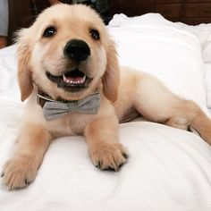 Look out ladies, Mr. Hamiltonian arrived! #Puppy #Animals #Pet #Goldenretriever…