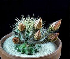 The man in the purple suit — sanziene: Echinopsis Cacti in Bloom by Greg...