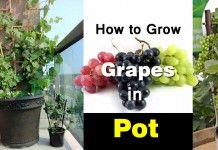 Growing Grapes in Containers | How to grow Grapes in Pots & Care