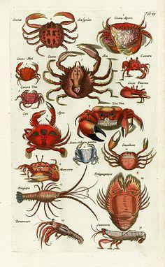 Merian Fish Prints, Crab Prints, Shell Prints from Johnston 1767 Fish Chart, Merian, Kunst Poster, Nature Illustration, Fish Print, Ocean Creatures, Sea Fish, Botanical Drawings, Mundo Animal