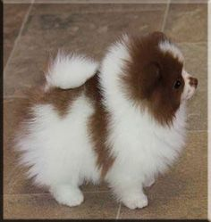 Chocolate and White Pomeranian...I NEED her!