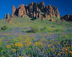 Campo de papoulas mexicanas e tremoço de Coulter sob as torres das Montanhas da Superstição, na Área Selvagem da Superstição, Floresta Nacional Tonto, próximo a Phoenix no Arizona, USA.  Fotografia: © Mary Liz Austin.