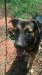 JAKE is an adoptable German Shepherd Dog Dog in Anderson, SC. ALL ANIMALS ADOPTED THROUGH UPSTATE ANIMAL RESCUE ARE ALTERED, CURRENT ON ALL VACCINES AND MICRO-CHIPPED! Jake is about 7 months old and a...