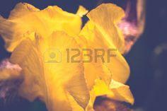 yellow iris flower: Decorative iris flower of yellow color in the garden. Stock Photo