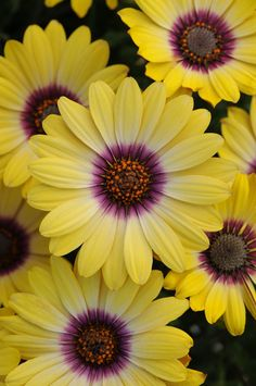~~Blue Eyed Beauty African Daisy | This unique bicolor African Daisy will add a splash of bright color to your garden in early spring. Compact bushy form is perfect in patio containers and mass color plantings as well as mixed into perennial borders | Monrovia~~
