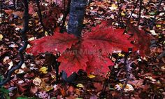 Autumn Leaves in the Rain Photo Orange Yellow Red  Brown Halloween Harvest Fall Thanksgiving Rustic Nature Fine Art Photography