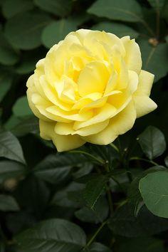 Rose 'Emil Nolde' Floribunda