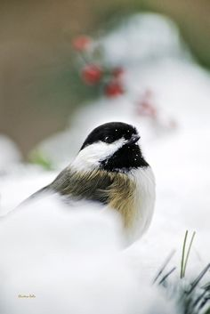 White Winter Chickadee Print by Christina Rollo.  All prints are professionally printed, packaged, and shipped within 3 - 4 business days. Choose from multiple sizes and hundreds of frame and mat options.