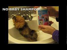 How To Bathe A Guinea Pig: Nervous Guinea Pigs - YouTube