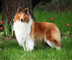 Rough Collie sable and white